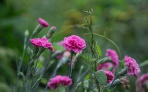 Картинка цветы, лепестки, гвоздики