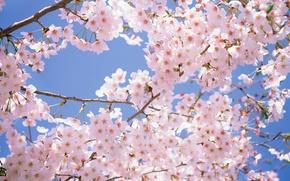 Картинка нежность, красота, flowers, цветы, white, cherry blossom, pink, sakura, вишня, ветки, park, цветущая сакура, spring, ...