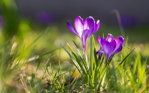 Картинка весна, крокусы, боке