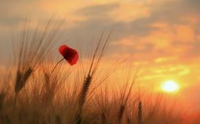 Картинка поле, цветок, небо, солнце, облака, закат, мак, колосья
