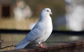 Картинка белый, птица, голубь