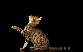 Картинка чёрный фон, лапка, Бенгальская кошка