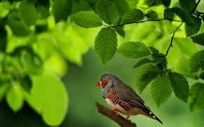 Обои листья, птица, ветка, Австралия, зяблик