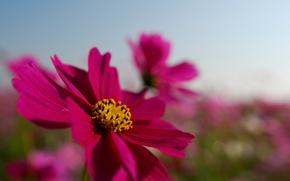 Обои поле, цветок, лето, небо, макро, яркий, розовый, лепестки, космея