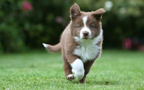 Картинка трава, щенок, хаски, гуляет, пёс