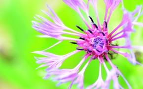 Обои цветок, фон, василёк