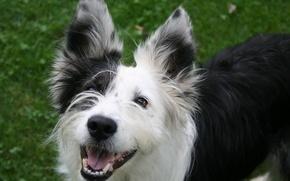 Картинка лето, трава, собака, карие глаза, улыбается