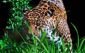 Картинка трава, взгляд, морда, хищник, ягуар