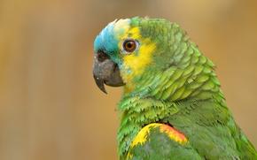 Картинка птица, портрет, попугай, Синелобый амазон