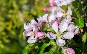 Картинка макро, весна, яблоня, цветение