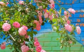 Картинка цветы, widescreen, обои, роза, куст, wallpaper, широкоформатные, background, обои на рабочий стол, полноэкранные, HD wallpapers, …