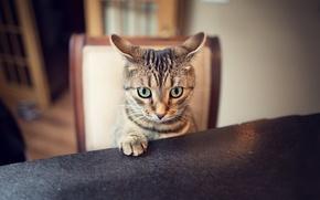 Картинка кот, взгляд, лапа, уши, ушки
