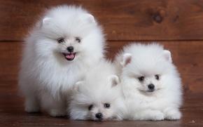 Картинка белый, милый, щенок, трио, шпиц