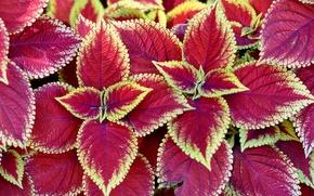 Картинка листья, природа, краски, растение, Колеус Блюме