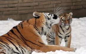 Картинка кошка, снег, любовь, тигр, поцелуй, семья, котёнок, тигрица, тигрёнок, амурский