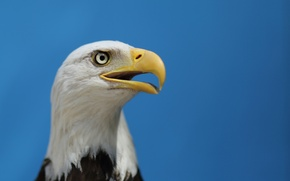 Картинка Белоголовый Орлан, взгляд, bird, профиль, blue sky, птица, bald eagle, небо, орел