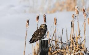 Картинка зима, снег, камыши, сова, птица, пень