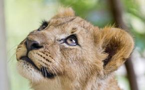 Картинка взгляд, котёнок, детёныш, ©Tambako The Jaguar, морда, львёнок