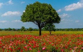Обои цветы, Texas, лето, красные, деревья, Austin, поле, маки, солнце, небо, облака, США