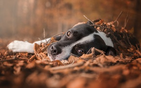 Обои лес, глаза, осень, листва, грусть, лежит, взгляд, собака