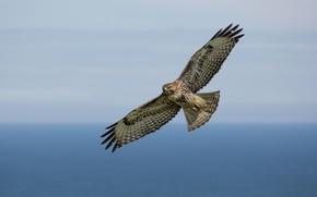 Картинка sky, pacific ocean, flight, red-tailed hawl