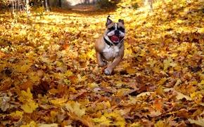 Картинка осень, листья, друг, собака, english bulldog