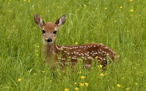 Картинка зелень, трава, взгляд, олень