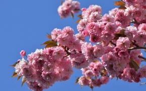 Картинка макро, ветка, сакура, цветение, японская вишня