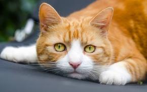 Картинка кошка, кот, взгляд, мордочка, рыжий кот
