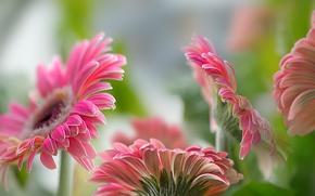 Картинка цветы, природа, герберы