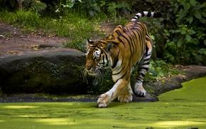 Картинка тигр, хищник, пруд, интерес