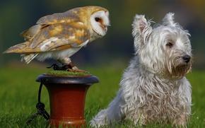 Картинка сова, птица, собака, сипуха