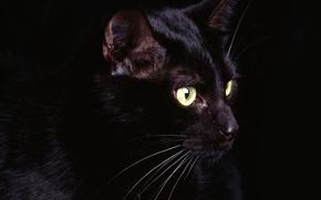 Обои кошак, черный