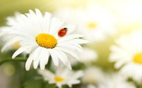 Картинка божья коровка, лепестки, ромашка, насекомое