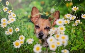 Картинка цветы, ромашки, собака, мордашка