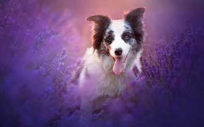 Картинка природа, собака, лаванды