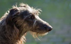 Картинка взгляд, собака, sighthound