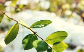 Картинка листья, фон, ветка, боке