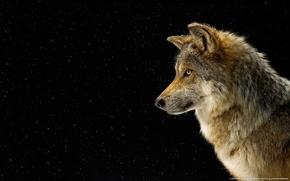 Картинка снег, волк, профиль, national geographics
