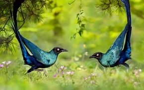 Обои танец, трава, длиннохвостый блестящий скворец, птица, природа