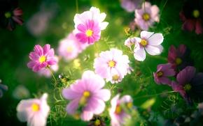 Обои цветы, розовые, лепестки, белые