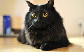 Картинка усы, кошка, шерсть, кошак, глаза, кот