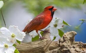 Картинка цветы, птица, ветка, весна, красная, оперение, кардинал
