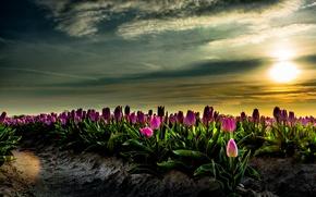 Картинка поле, небо, солнце, рассвет, тюльпаны, Нидерланды