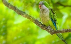 Картинка Калита, ветка, попугай, птица