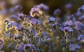 Картинка поле, макро, цветы, стебли, растения, фиолетовые, незабудки
