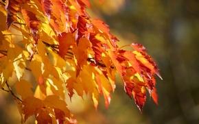 Картинка осень, фон, цвет, ветка, листики, пышная, градация