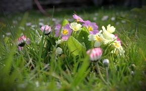 Картинка трава, размытость, маргаритки, примула