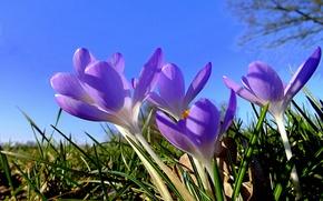 Картинка небо, трава, природа, лепестки, крокус