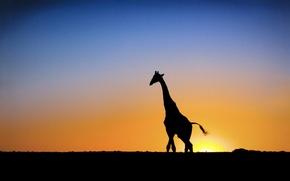 Обои Солнце, закат, жираф